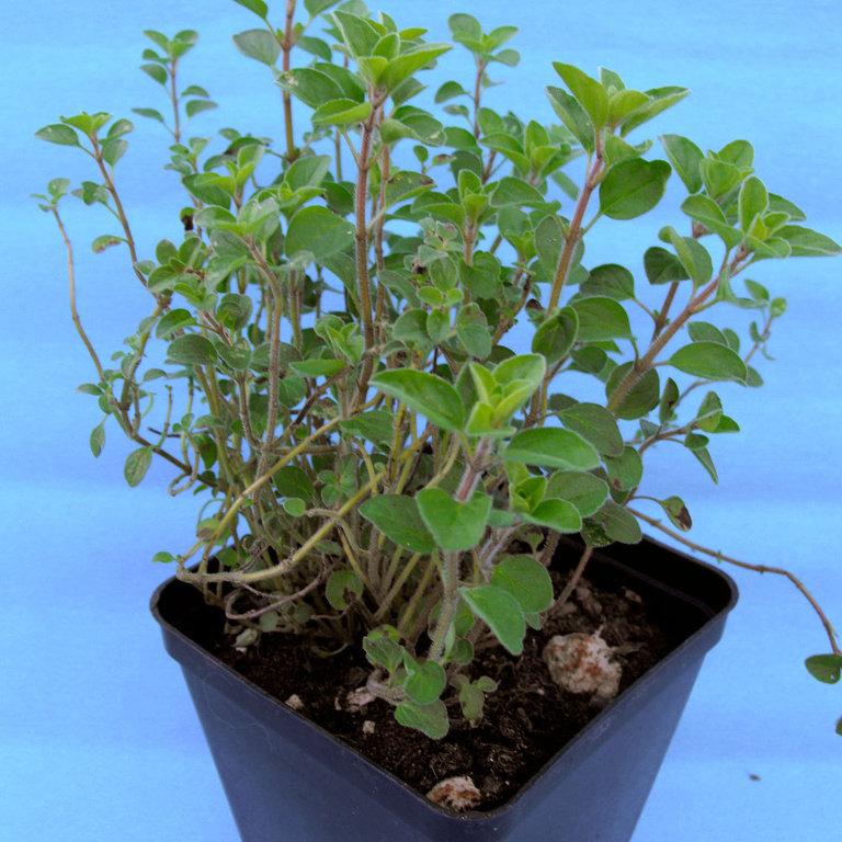 Produzioni biologiche di piante for Piante secche ornamentali