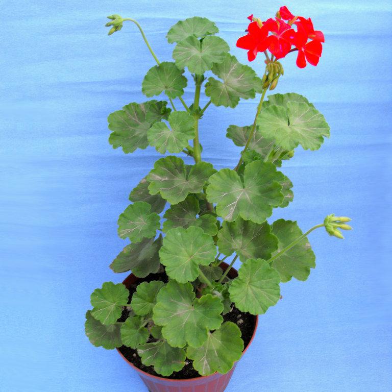 Pelargonium zonale rosso produzioni for Piante secche ornamentali