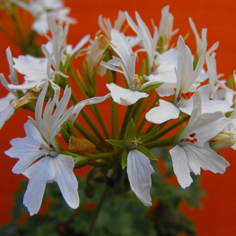 Pelargonium zonale fiore a stella bianco for Piante secche ornamentali