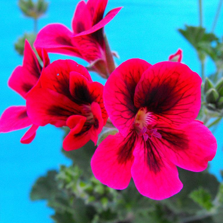 Pelargonium zonale a fiore rosso e nero for Piante secche ornamentali