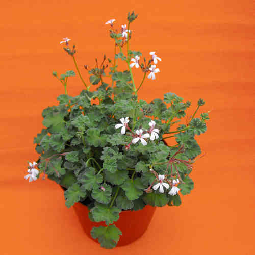 Pelargonium odoroso Fragrans